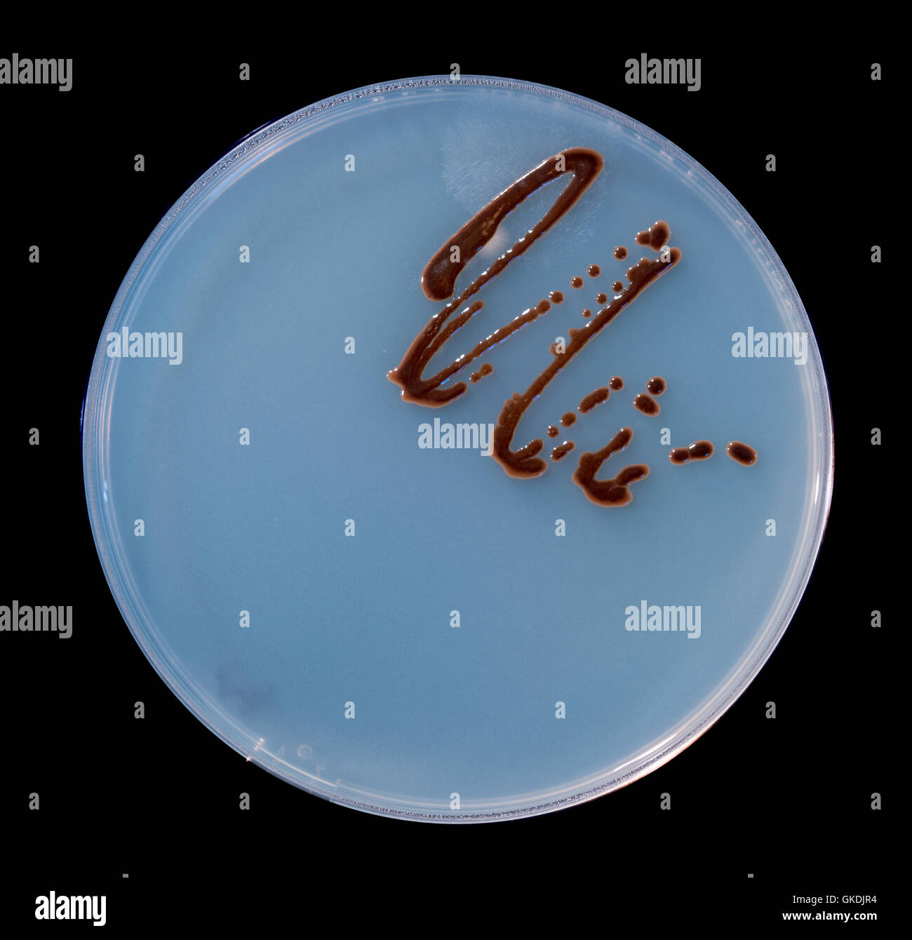 Petri dishes with colonies of microbes and spores of fungi - Stock Image