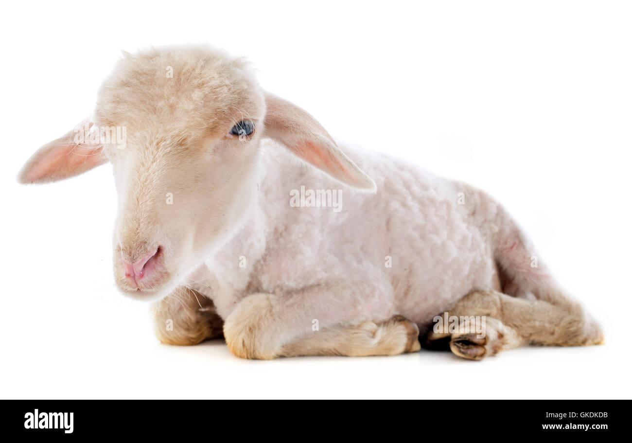 animal sheep farm - Stock Image