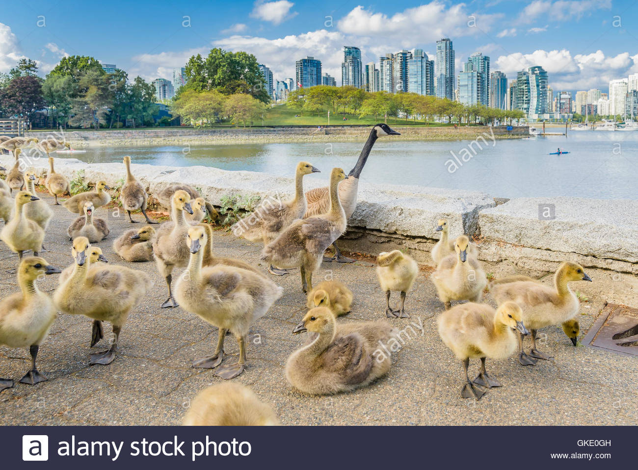 Canada Geese families at False Creek seawall, Vancouver, British Columbia, Canada - Stock Image