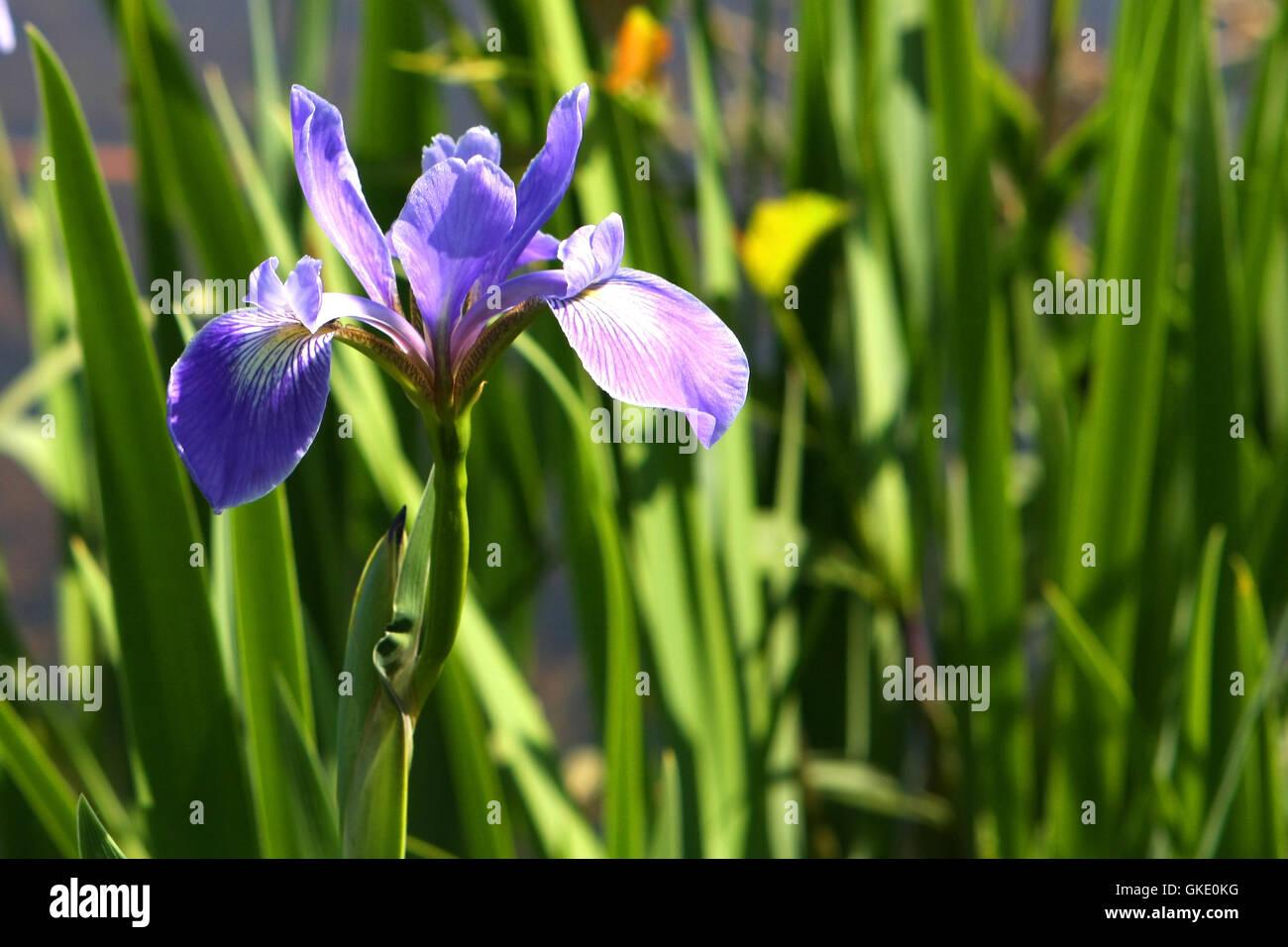 Blue flag iris stock photos blue flag iris stock images alamy blue flag iris flower stock image izmirmasajfo