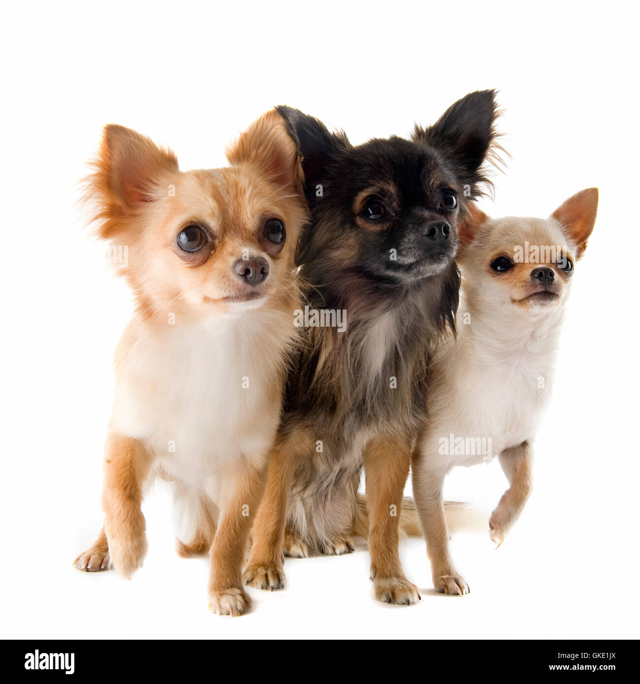 animal pet dog - Stock Image