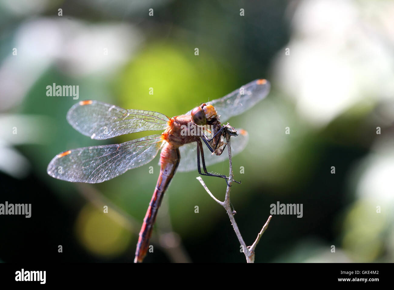 Ruby Meadowhawk Dragonfly Stock Photo