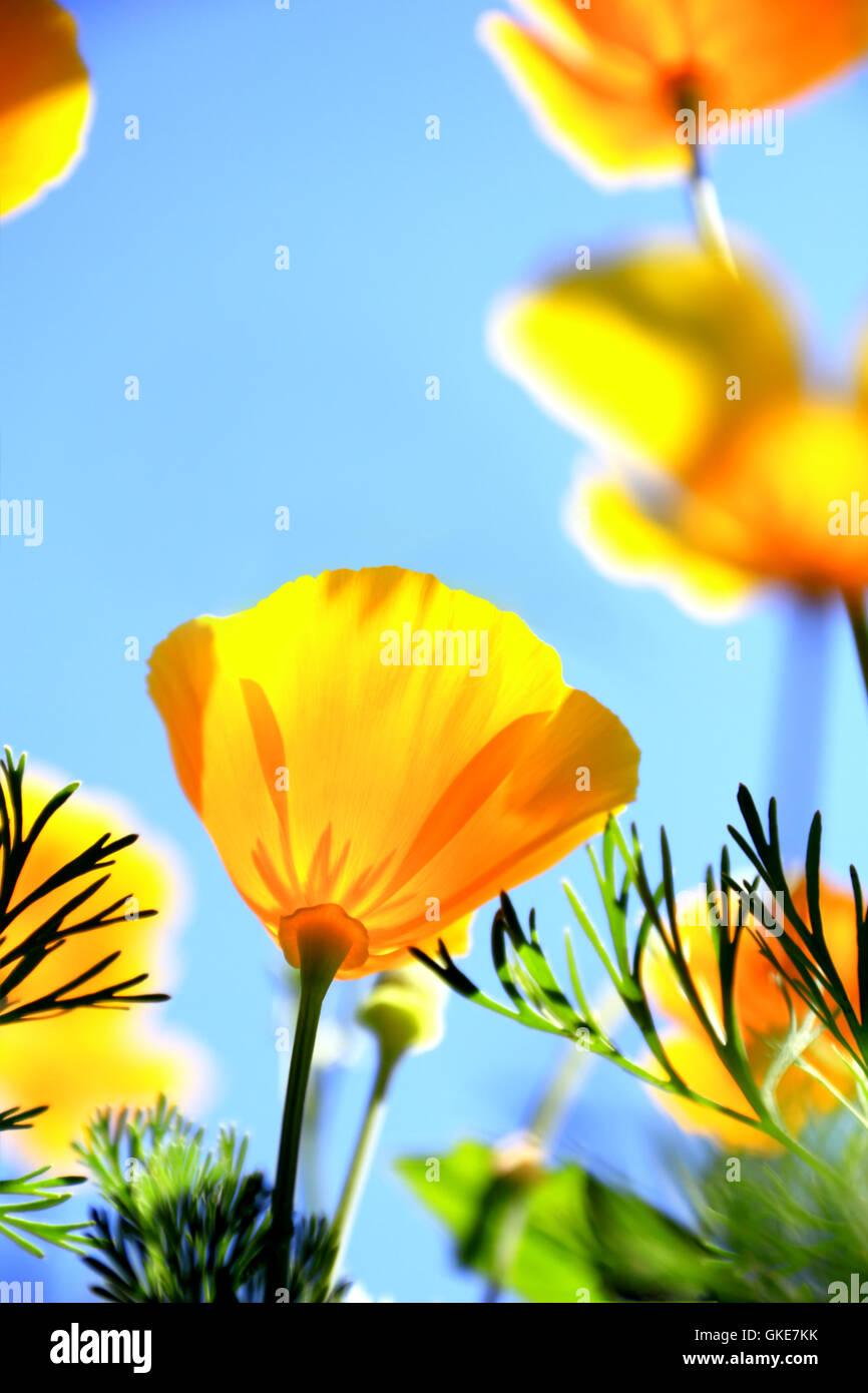 california poppy flower - Stock Image