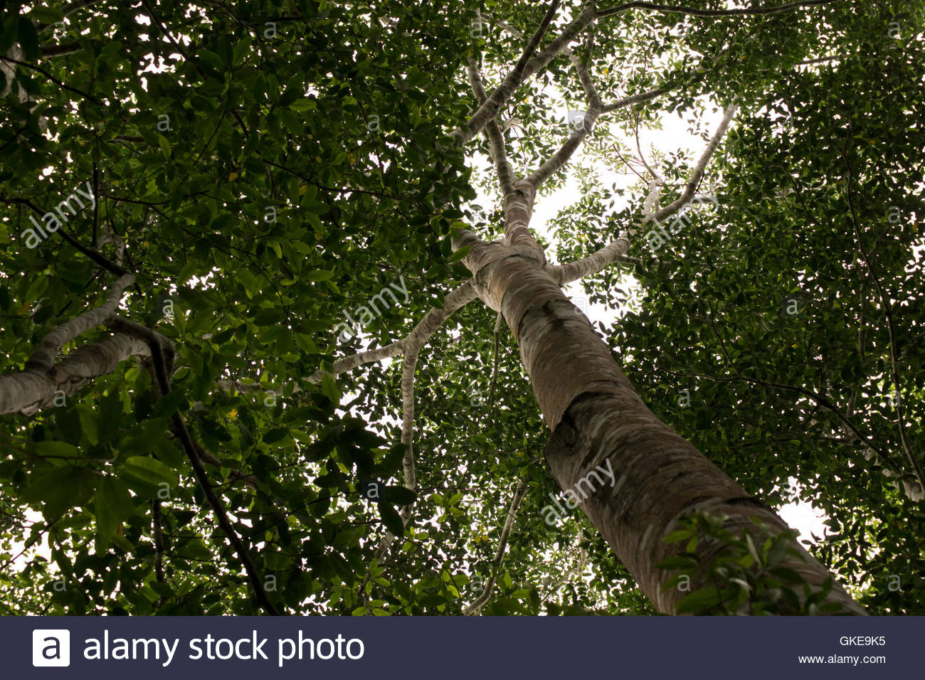 Crown of an Amazonian tree seen from a worm's eye shot, on the path to Sandoval Lake, Tambopata, Peru - Stock Image