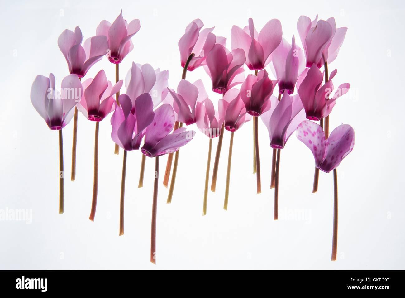 backlit violet petals (Cyclamen) on a lightbox Stock Photo