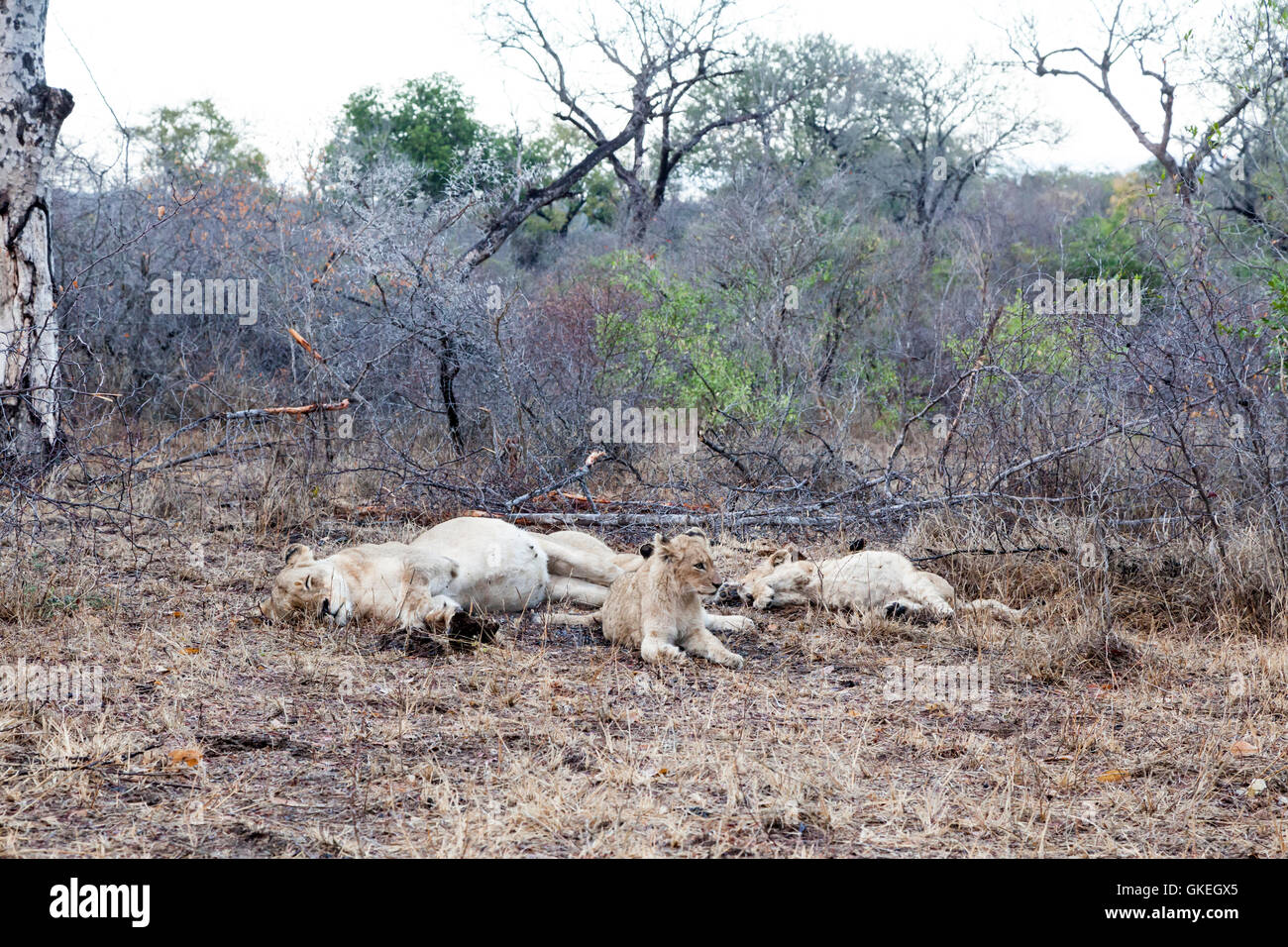 Otthawa pride lions resting after gorging on a kudu, Exeter Private Game Reserve, South Africa - Stock Image