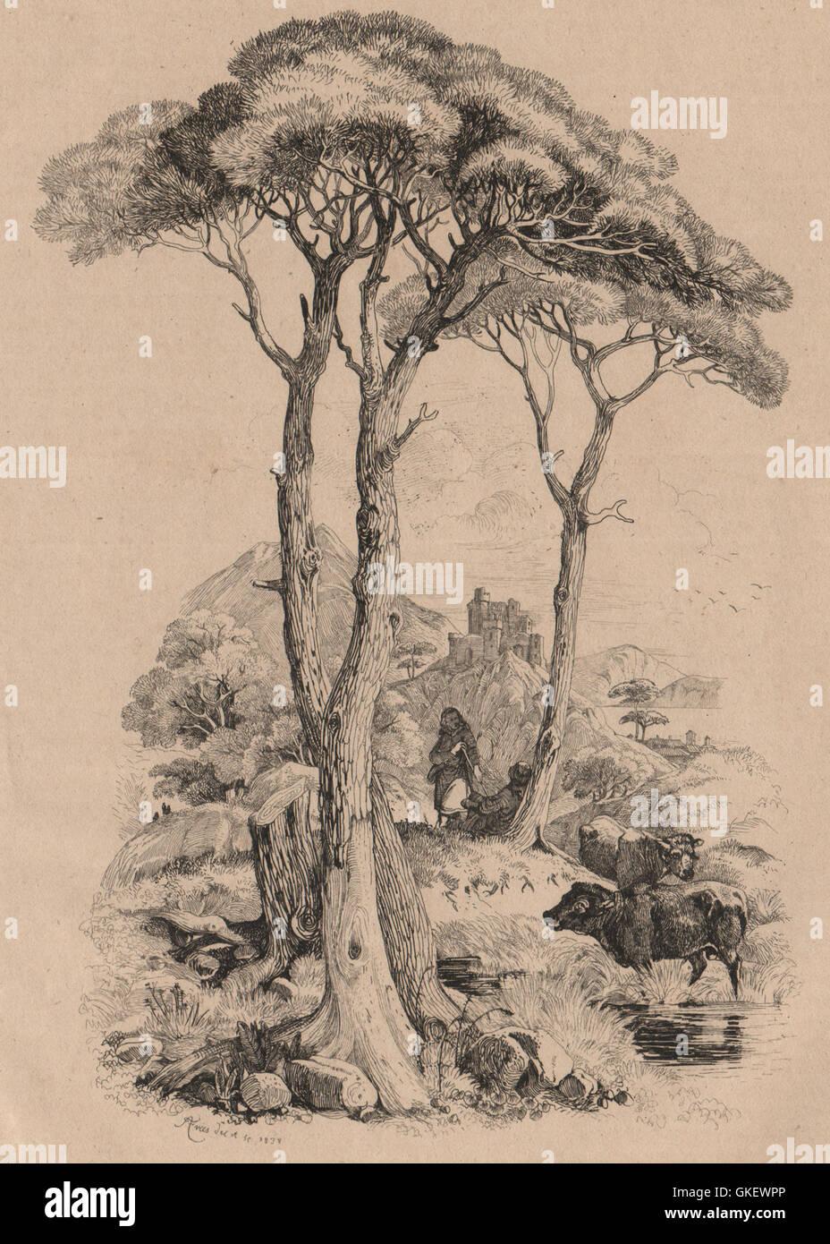 PINE TREE: Pin (Vue générale du genre), antique print 1834 - Stock Image