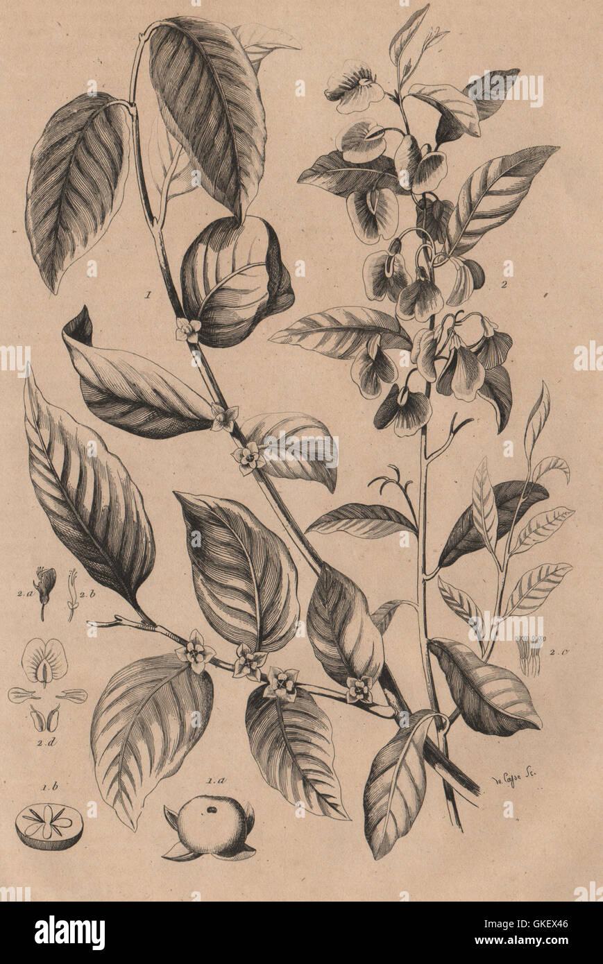 PLANTS: Plaqueminier (Persimmon). Platychilier, antique print 1834 - Stock Image