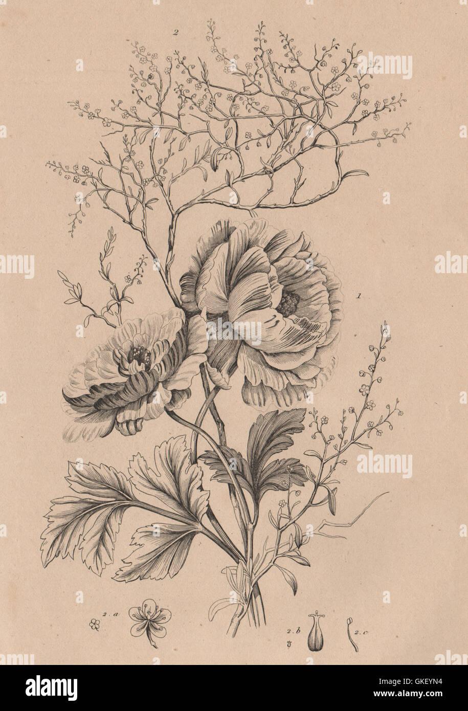 FLOWERS: Ranunculus. Renouée (Knotweed), antique print 1834 - Stock Image