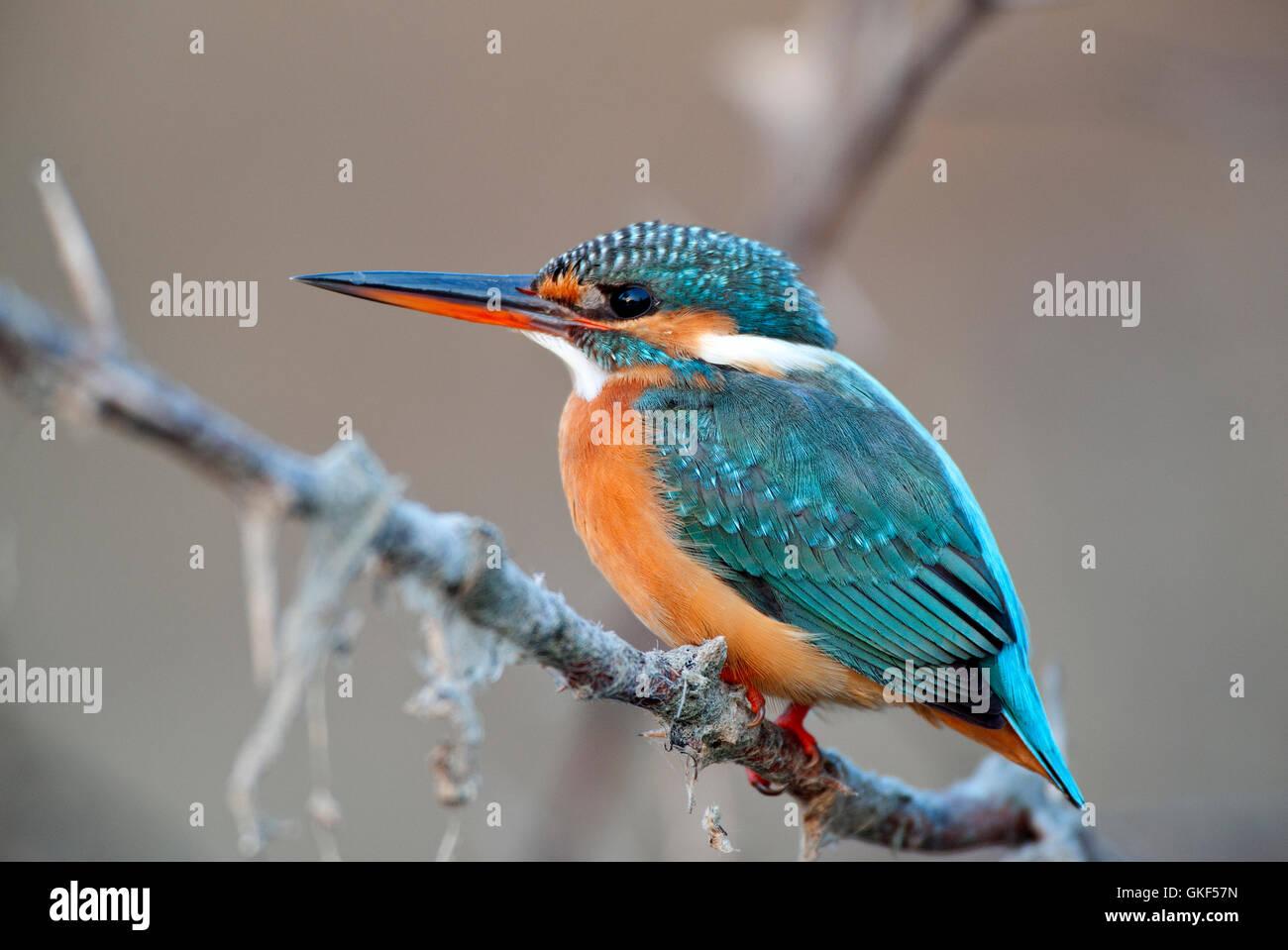 The image of Small Blue Kingfisher (  Alcedo atthis), Keoladev national park, Bharatpur, India - Stock Image
