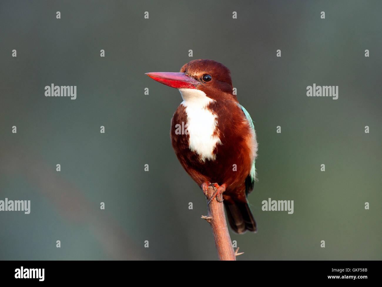The image of White throated Kingfisher ( Halcyon smyrnensis) Keoladev national park, Bharatpur, India - Stock Image