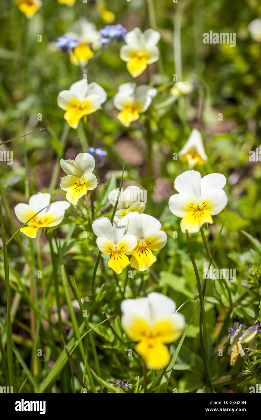 Wild violets on a mountain meadow (Viola arvensis) in the rear Ahrntal, South Tyrol, Italy - Stock Image