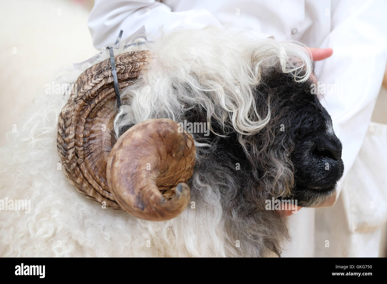Carlisle, UK. 19th August, 2016. The Valais Blacknose Sheep Society UK hosts the UK's first ever show and sale - Stock Image