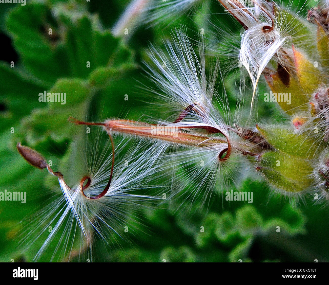 Twisting Geranium seeds ready to parachute into the wind for distribution - Stock Image