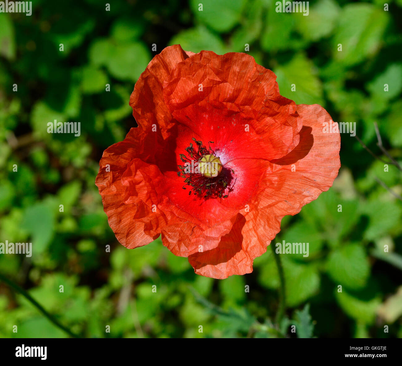 Poppy Like Flower Stock Photos Poppy Like Flower Stock Images Alamy
