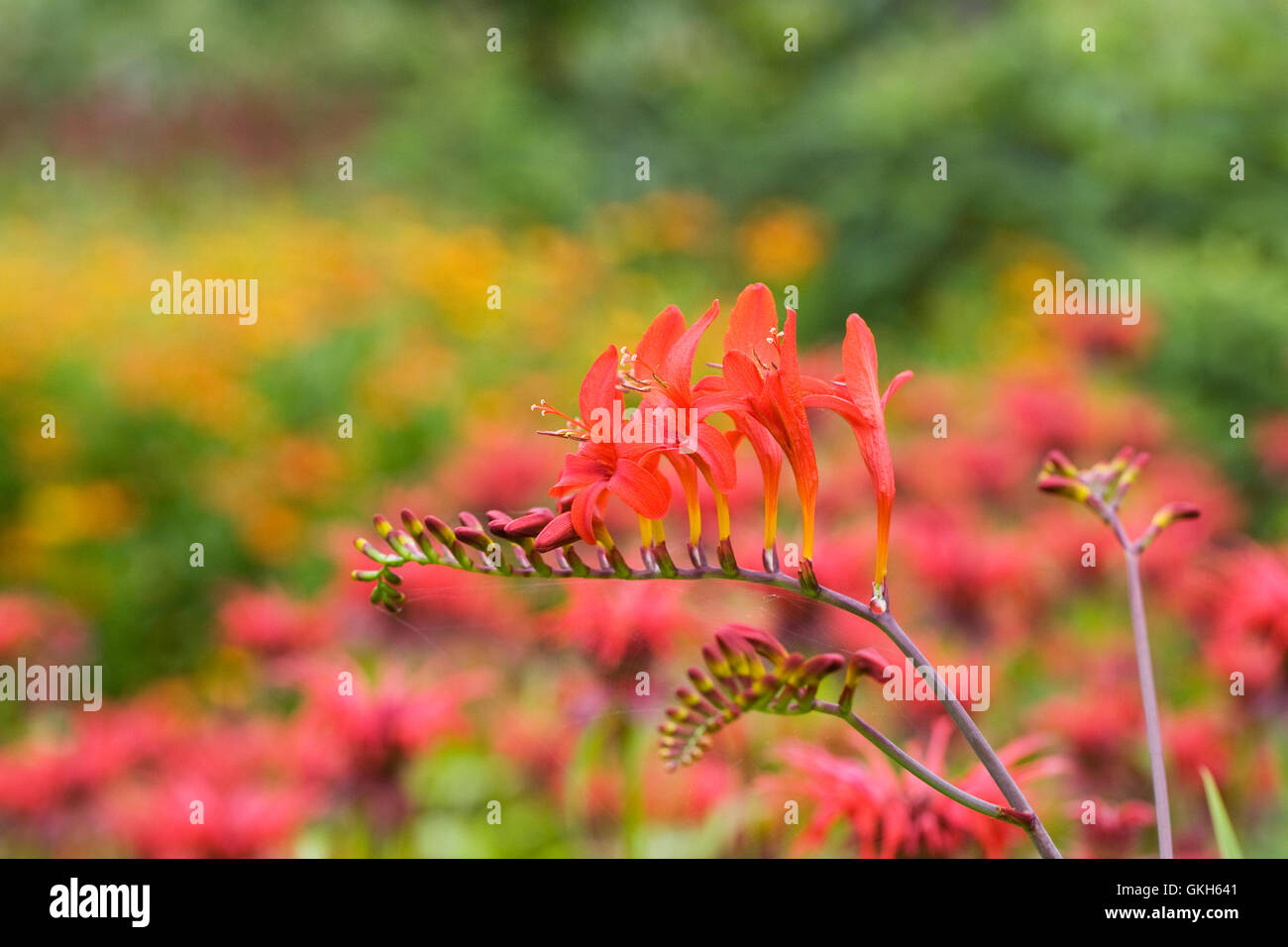 Crocosmia 'Lucifer' flowers in an herbaceous border. Stock Photo