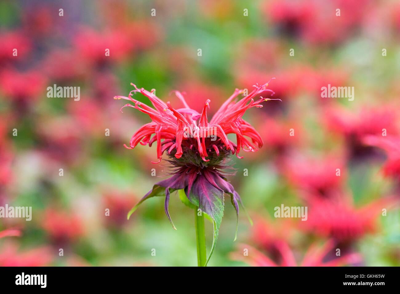 Monarda didyma 'Squaw'. Bergamot flowers. - Stock Image