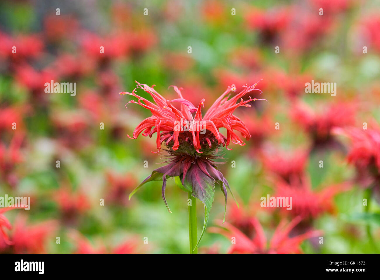 Monarda didyma 'Squaw'. Bergamot flowers. Stock Photo