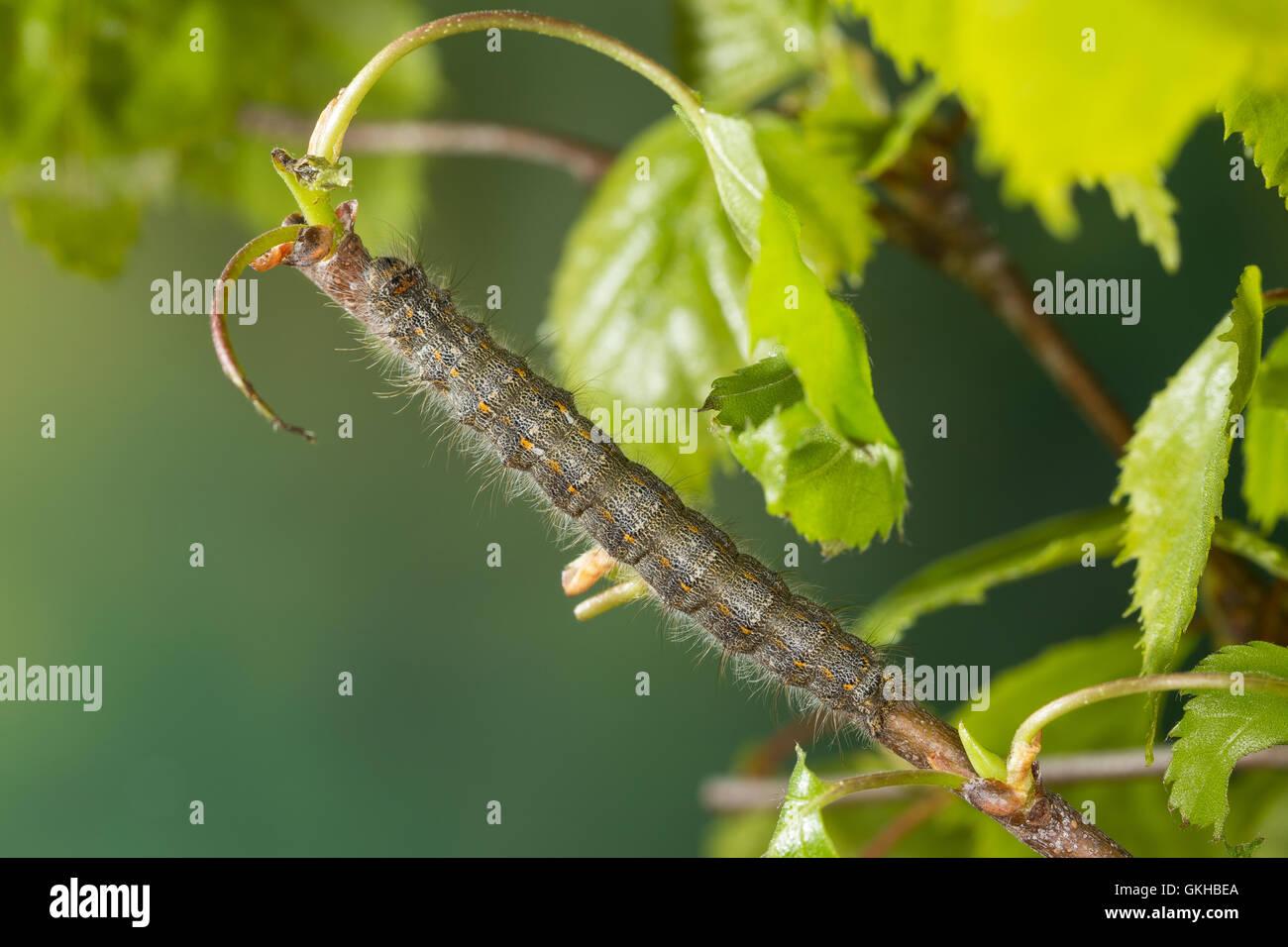 Kleine Pappelglucke, Raupe frist an Birke, Herbstglucke, Poecilocampa populi, December moth, caterpillar, Le Bombyx - Stock Image