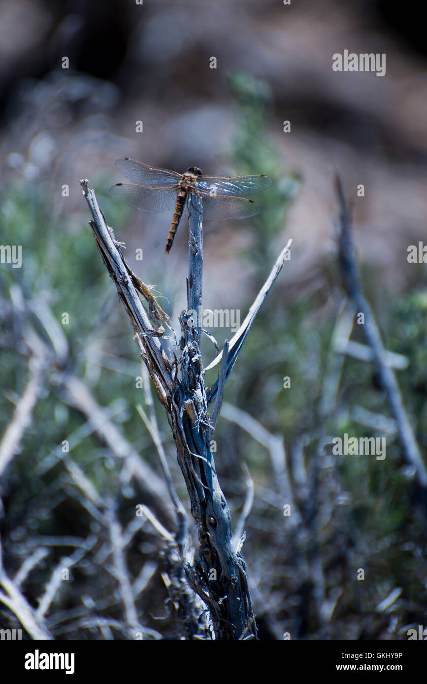Dragonfly on branch - Stock Image