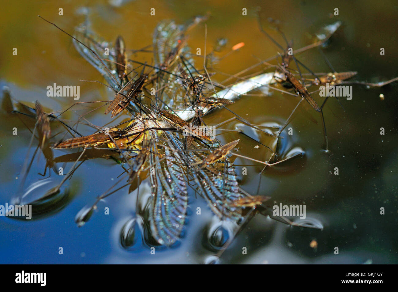 Pond skaters or Water Strider (Gerris lacustris) devouring a dragonfly. - Stock Image