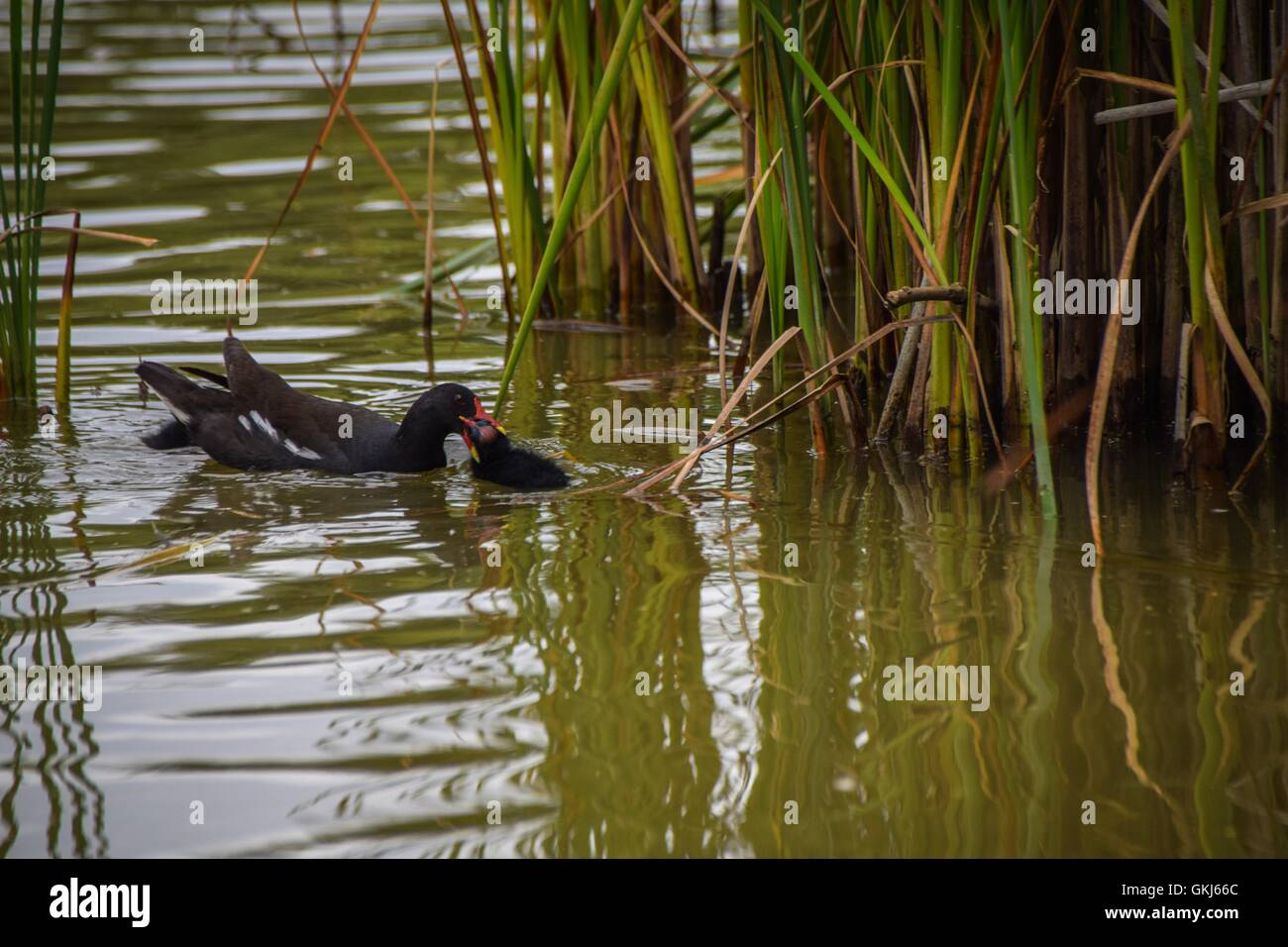 Young moorhen receiving food from adult - Stock Image
