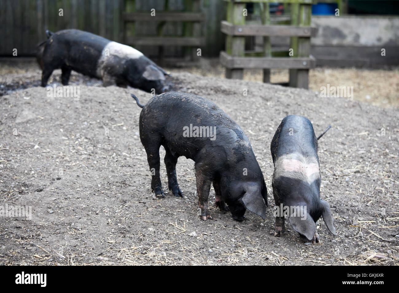 young black pigs at farm - Stock Image