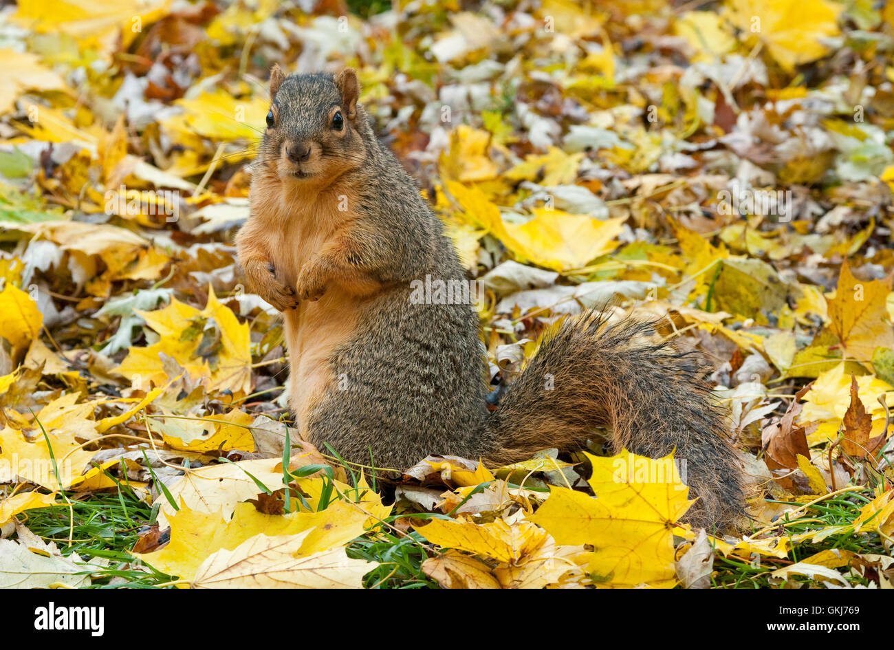 Eastern Fox Squirrel (Sciurus niger) on forest floor, searching for food, Autumn, E North America - Stock Image