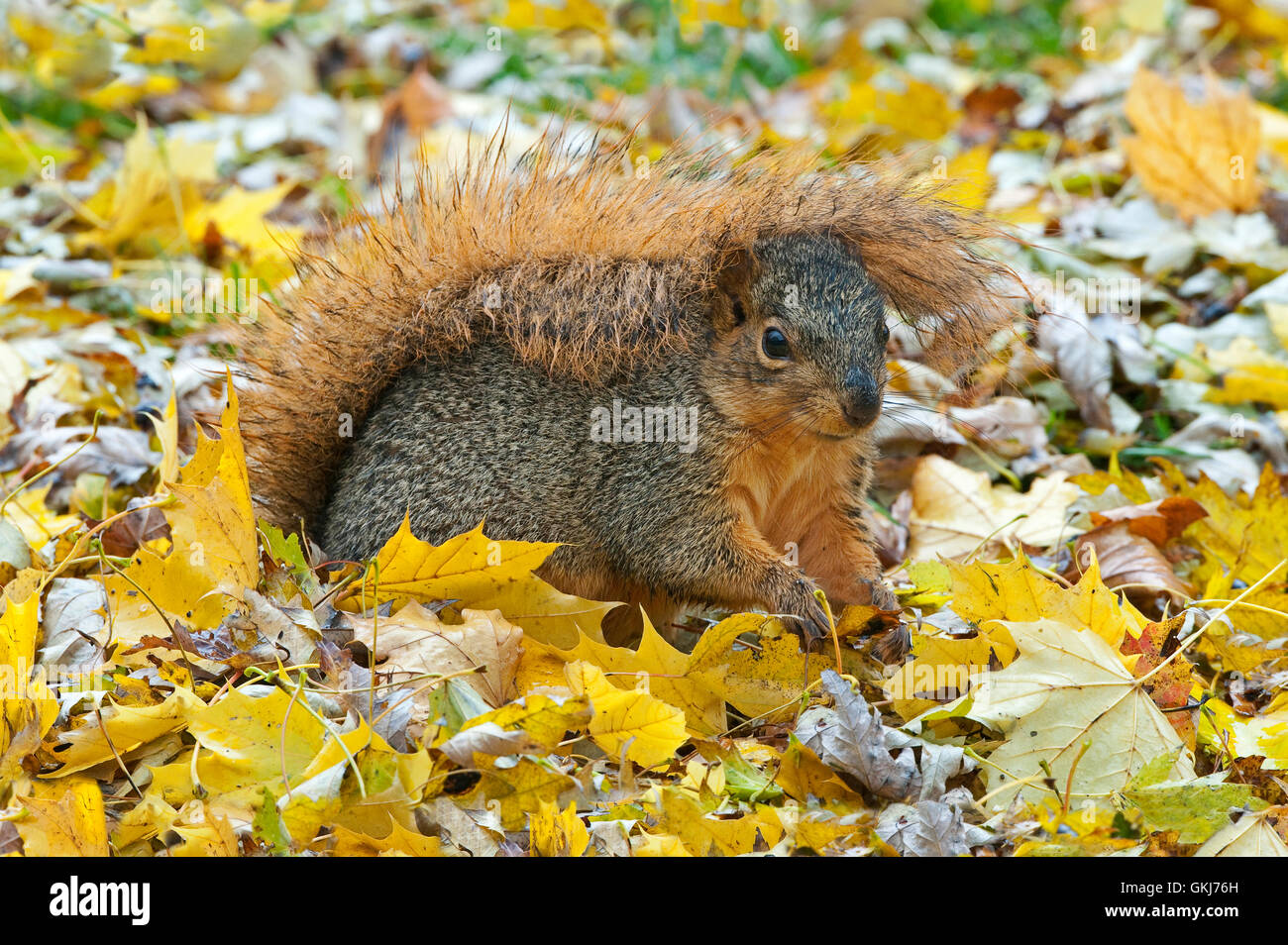 Eastern Fox Squirrel (Sciurus niger) Autumn, holding tail over head, protecting from rain, Eastern North America - Stock Image