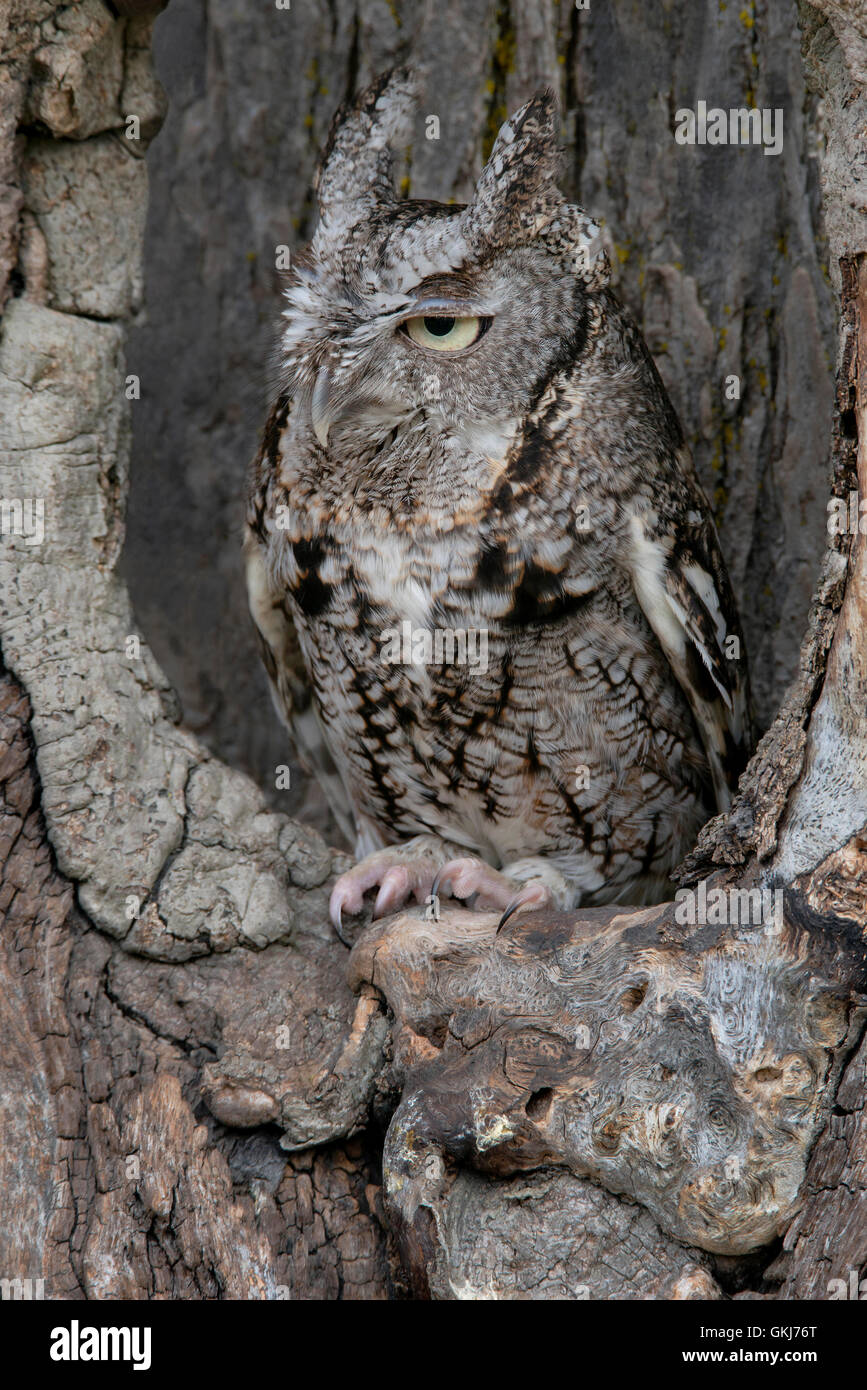 Common Screech Owl,gray phase, in a tree den.                     Eastern USA  Mi. - Stock Image
