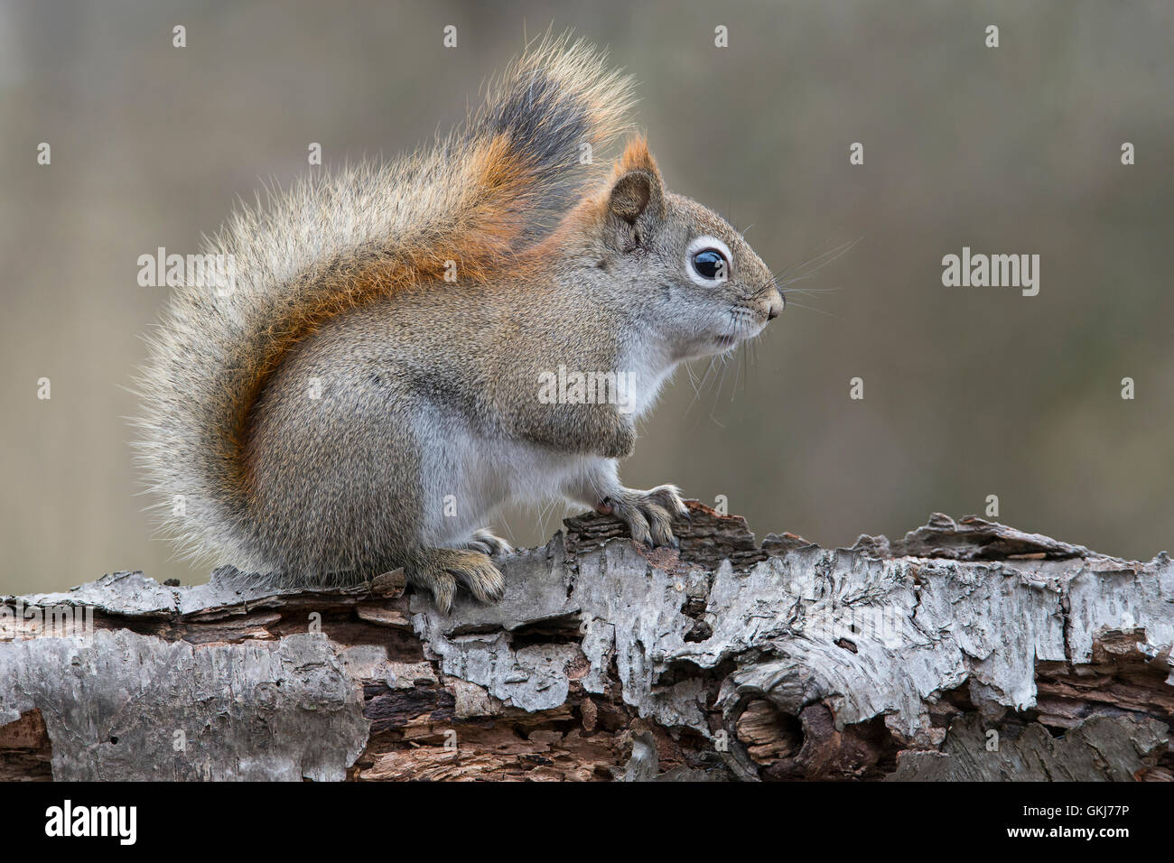 Eastern Red Squirrel searching for food (Tamiasciurus or Sciurus hudsonicus), sitting on White Birch tree, Winter, - Stock Image