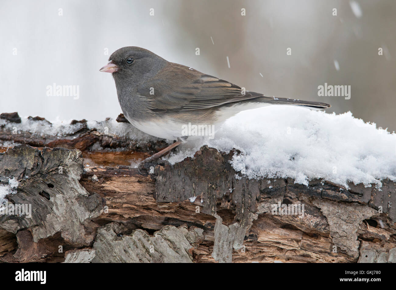 Slate-Colored or Dark-eyed Junco hyemalis, snowing, winter,female, Eastern USA - Stock Image
