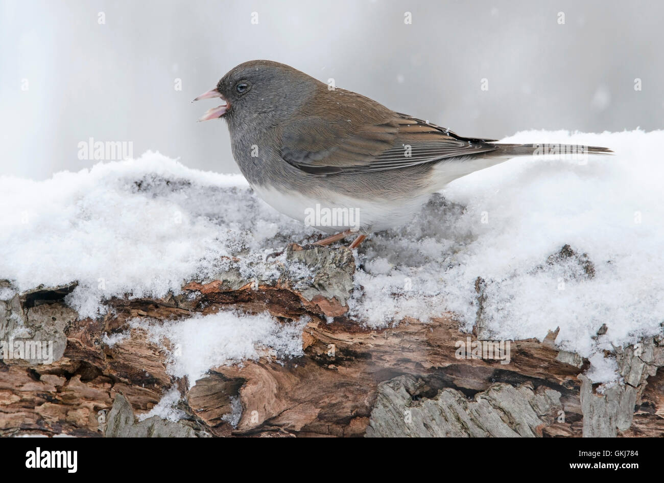 Slate-Colored or Dark-eyed Junco hyemalis, snowing, winter, female, Eastern USA - Stock Image
