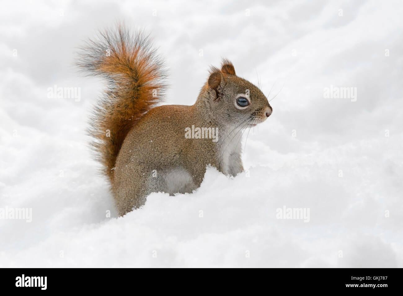 Red Squirrel (Tamiasciurus or Sciurus hudsonicus) looking for food in fresh snow, Eastern USA Stock Photo