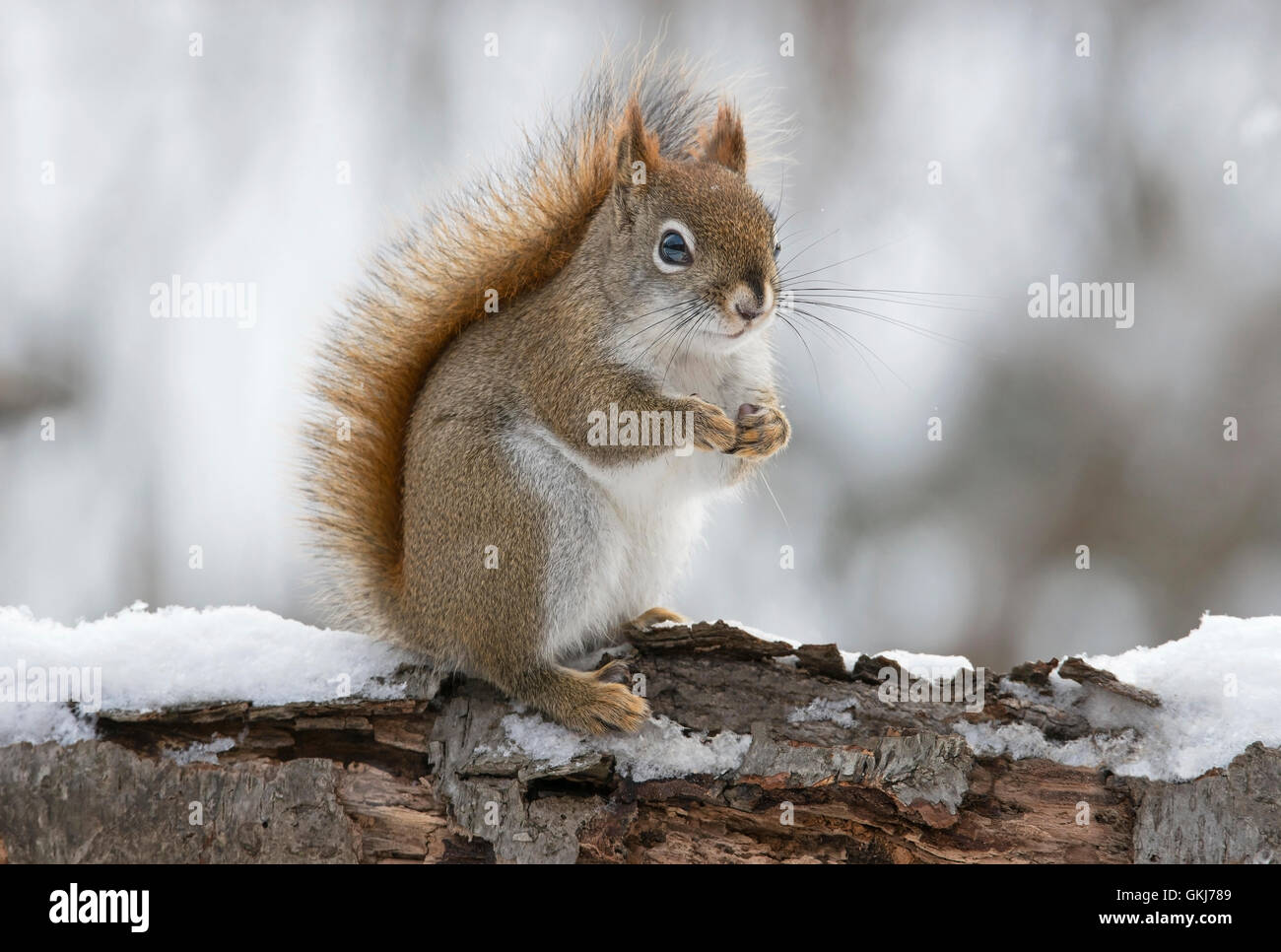 Eastern Red Squirrel searching for food (Tamiasciurus or Sciurus hudsonicus), Winter, E North America - Stock Image