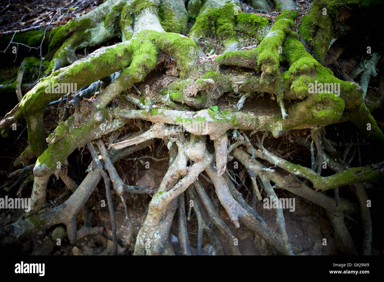 Green moss close up on big tree root in undergrowth, symbol of difficulty obstacle and complication Stock Photo