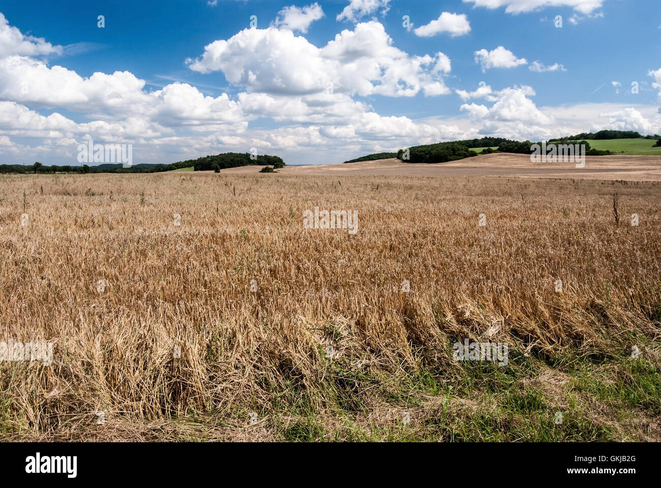 corny field with small hill on the background and blue sky with clouds near Tobolka village in Cesky kras in Bohemia - Stock Image