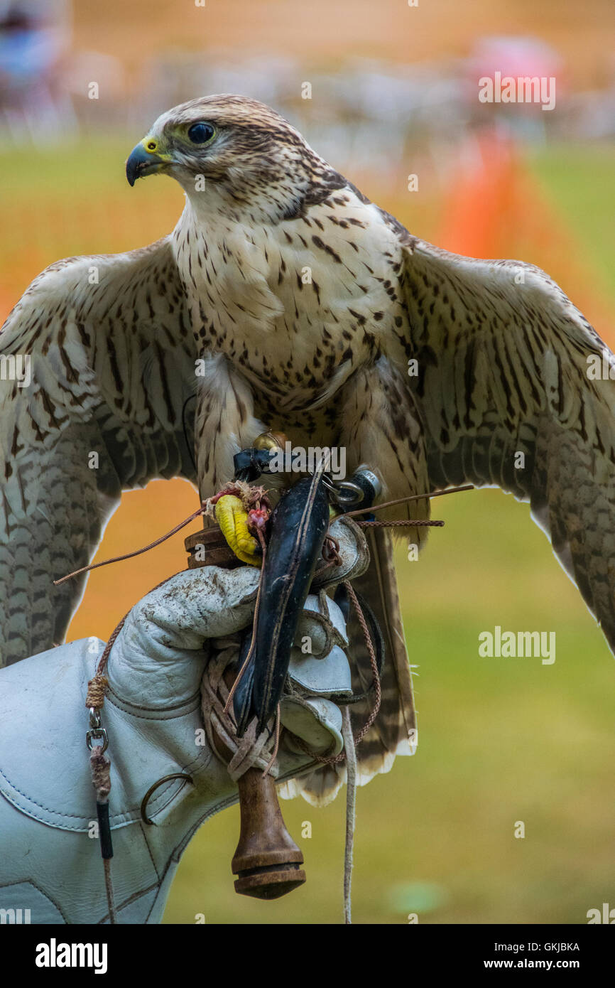 SAKER  Falcon feeding after a display at Northampton Abington park - Stock Image