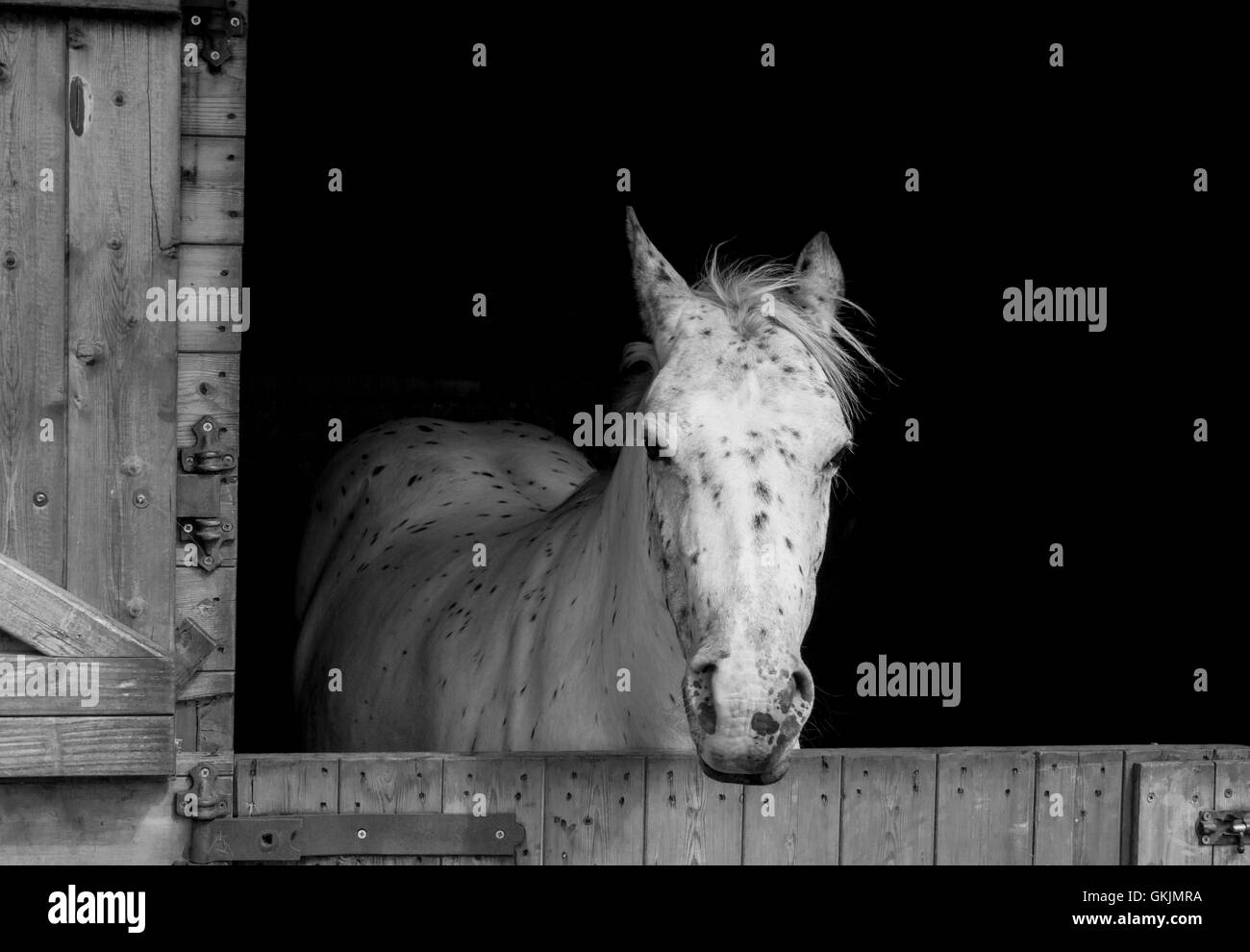 Horse looking out from her Stable. - Stock Image