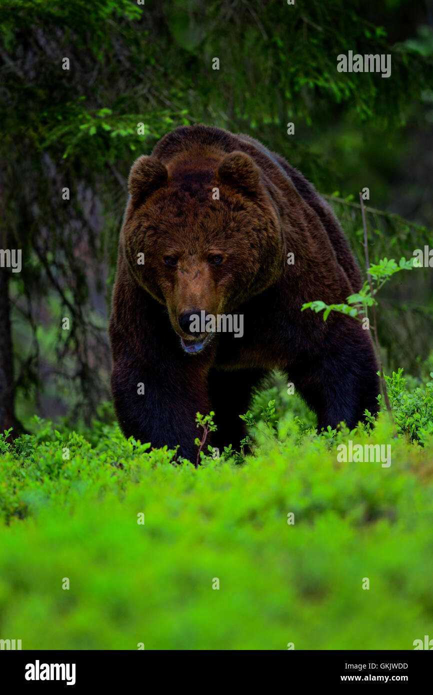 A portrait of a brown bear, Finland. - Stock Image