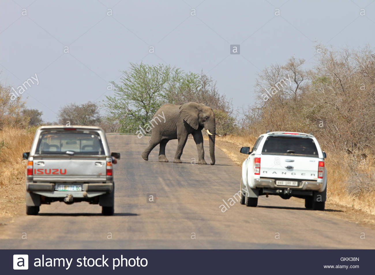 an elephant crosses the road, Kruger National Park, South Africa, African wildlife, the big five, elephants, African - Stock Image