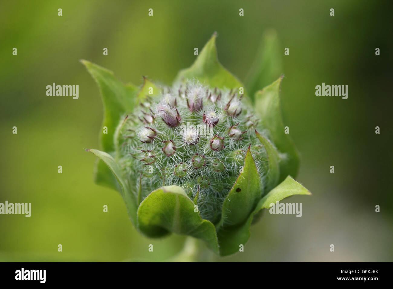 Bee Balm flower bud - Stock Image