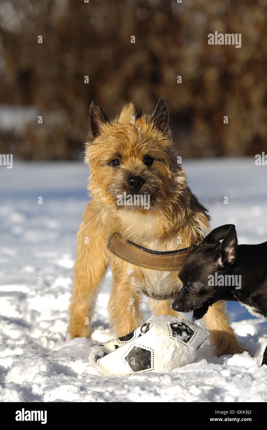 Playing dogs - Stock Image