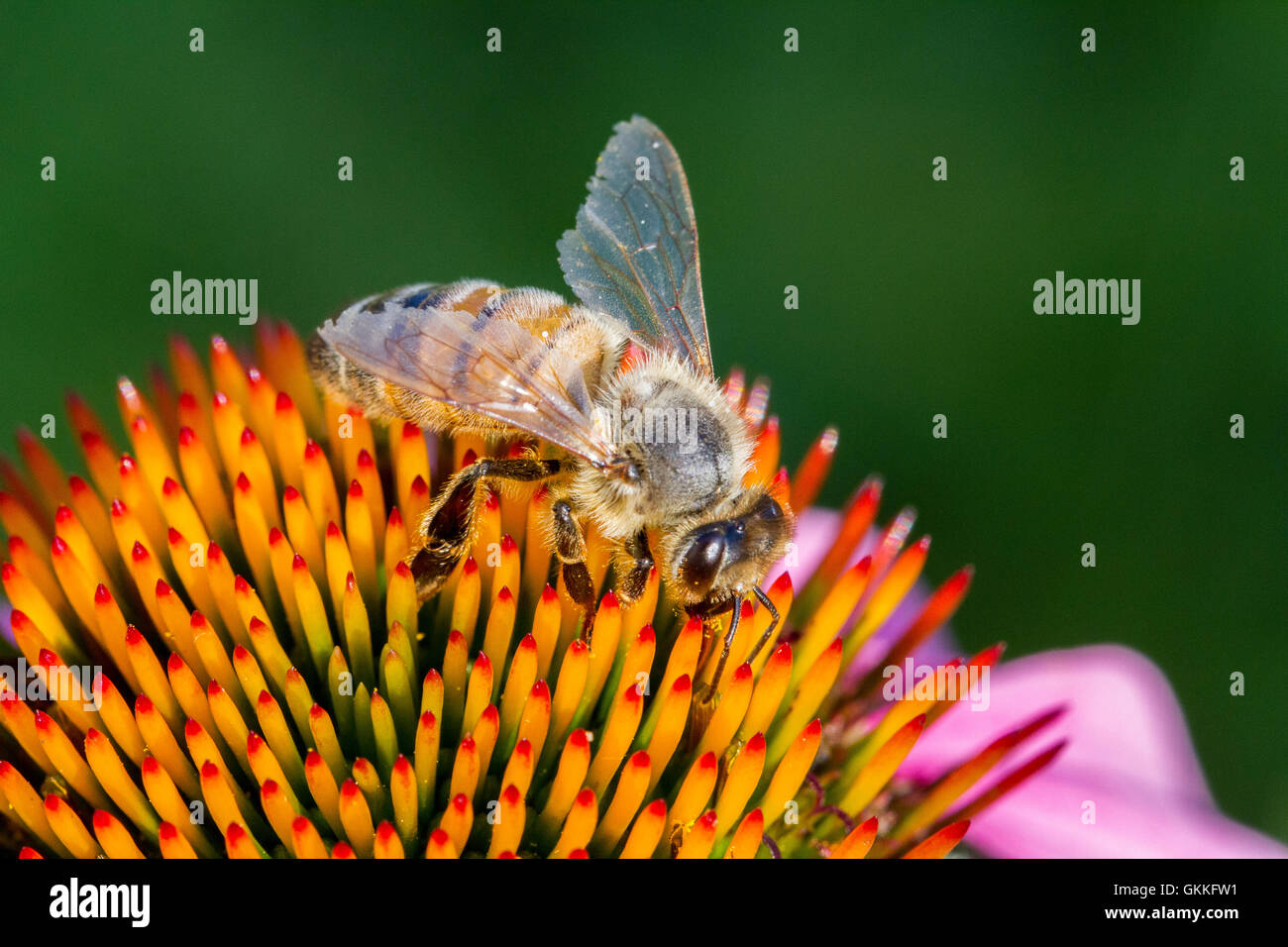 Bee pollinating a flower - Stock Image