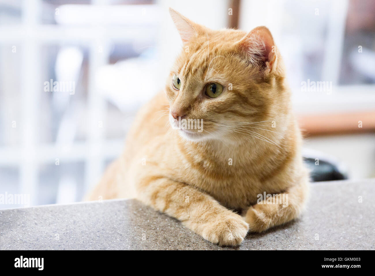 Tabby cat leaning on the counter - Stock Image
