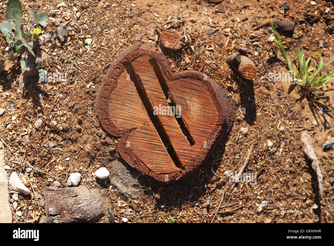 Cut Off Tree. Chopped tree ring with two deep cracks. Two gashs in a cut off tree trunk in the field. Top view of - Stock Image