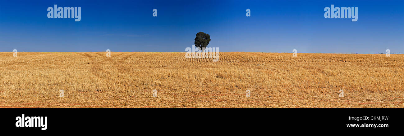 endless cultivated harvested field of crop with single tree on the horizon. Wheat belt agricultural land in South Stock Photo