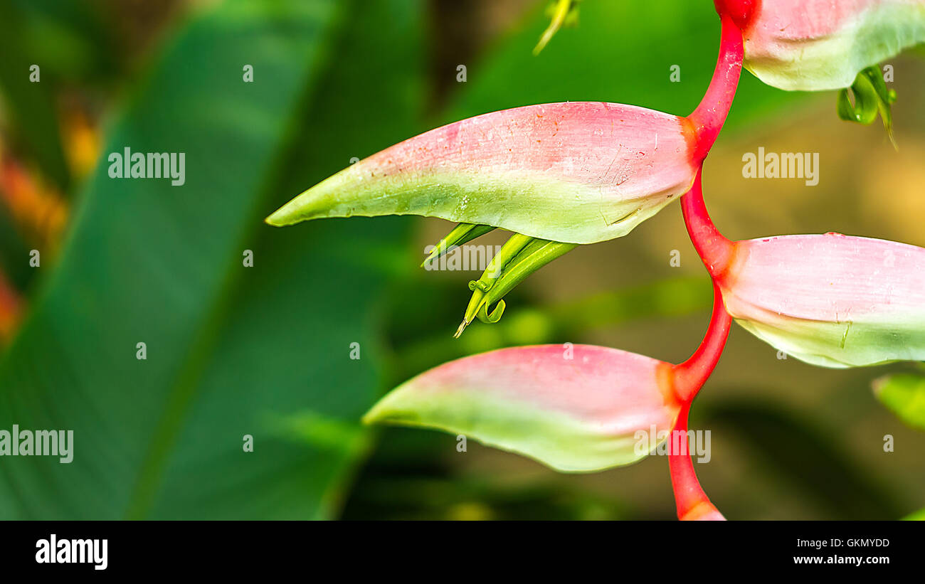 Beautiful lilac Heliconia Tropical flower isolated on a green background - Stock Image