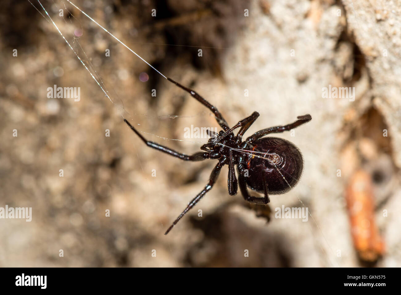 Beautiful example of a False Widow (aka Brown Widow) spider. This species is also dangerous to humans but not life - Stock Image