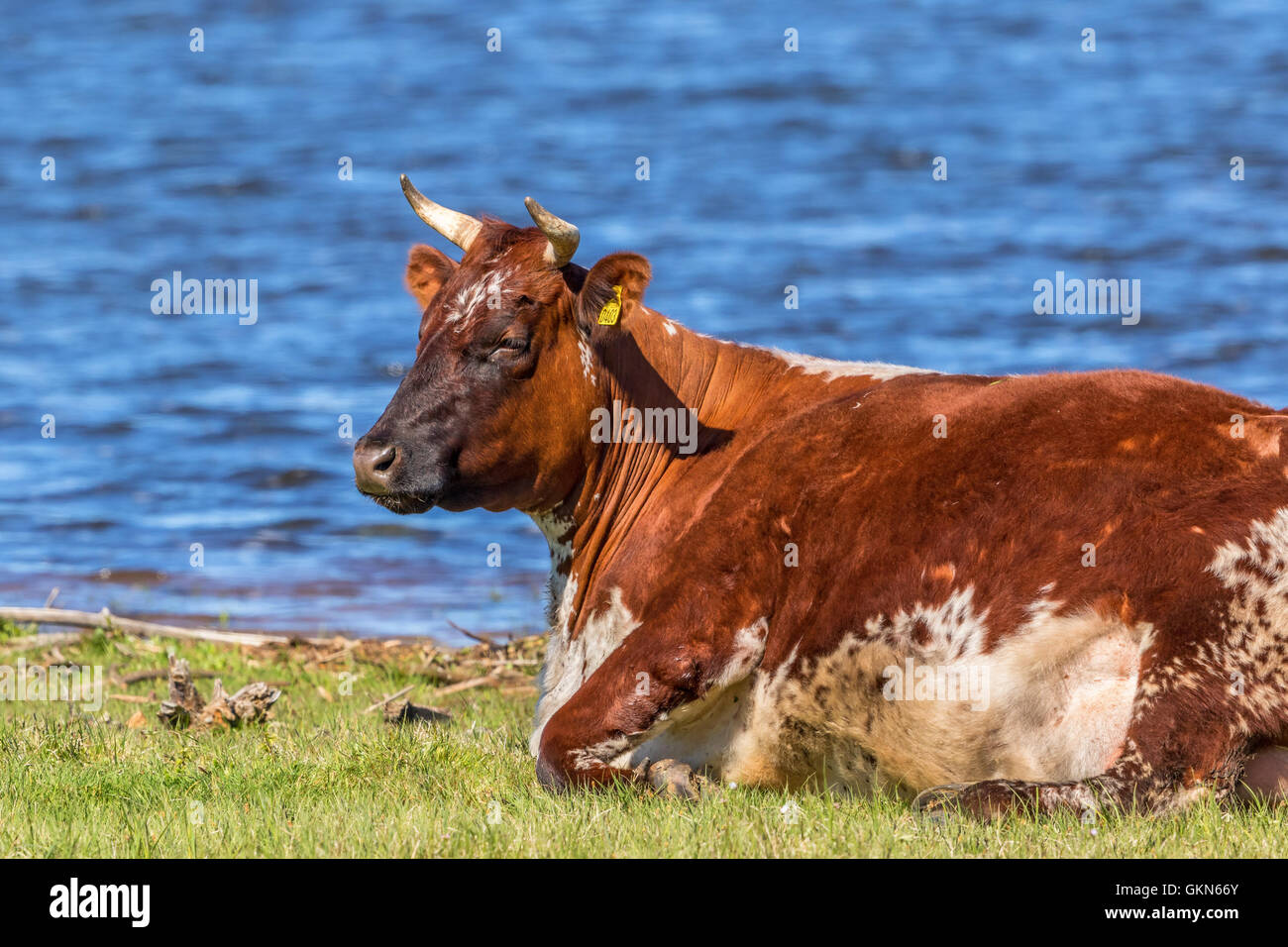 Cow lying and ruminating at the lake - Stock Image
